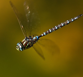 Shadow Darner flying over the lower pond.
