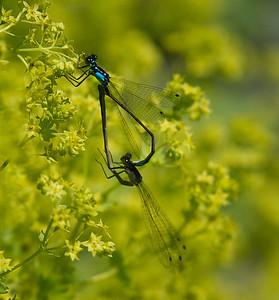 Mating Pacific Forktail Damselflies