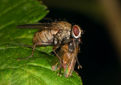 Fly and prey