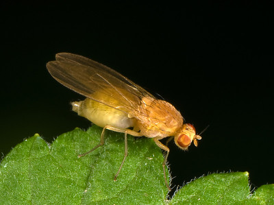 Either a well-nourished or constipated fly.  Probably a Vinegar Fly that feeds on decaying fruit.