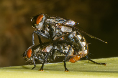Mating House Flies