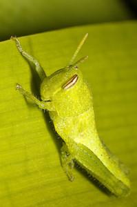 Grey Bird Grasshopper nymph