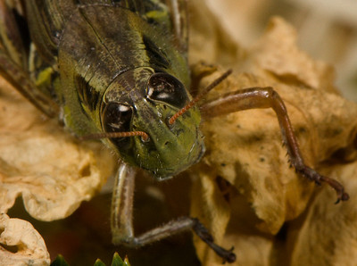 Closeup of the head of a grasshopper