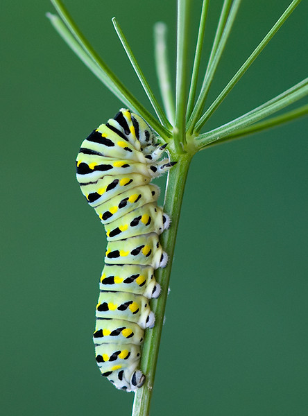 Black Swallowtail Caterpillar, Wood County