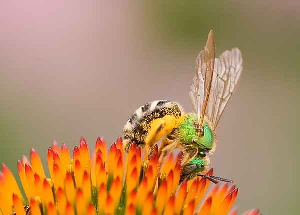 Sweat bee (Agapostemon), Wood County