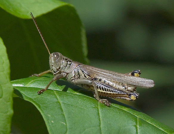 Differential Grasshopper, Wood County