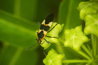 Large Milkweed Bug (Oncopeltus fasciatus) on Antelope Horns Milkweed (Asclepias asperula)