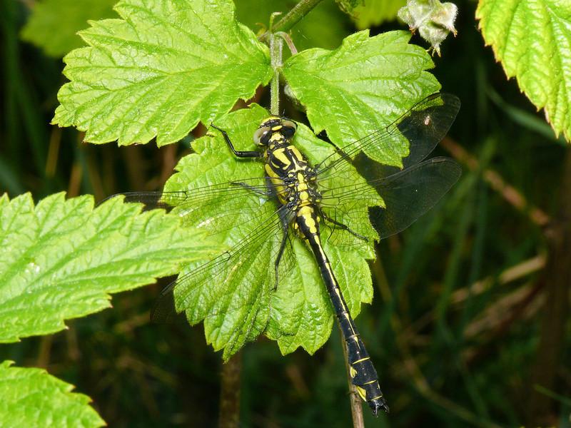 Gomphus vulgatissimus (Sandtrollslända)