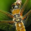 Libellula quadrimaculata (Fyrfläckad trollslända)
