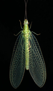 Green Lacewing.  Their larvae feed on aphids.  Lacewings are in the Order Neuroptera, meaning net-winged.