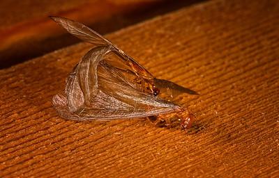 Mating Dampwood Termites