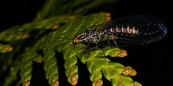 Giant Lacewing