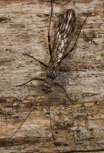 Stonefly.