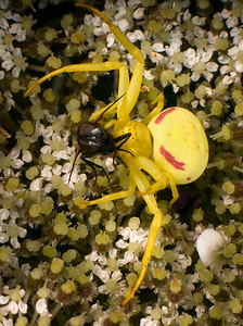 Crab Spider with prey, a fly