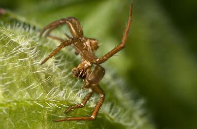 Spider exoskeleton after molting
