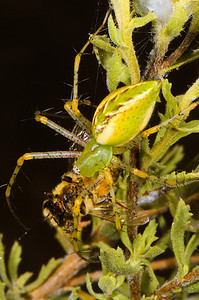 Green Lynx Spider with Honey Bee prey