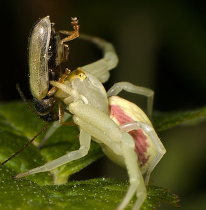 Crab Spider with Beetle