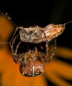 Garden Spider with just-captured Honeybee