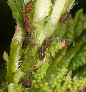 Aphids.  The nymphs are translucent and more difficult to see.