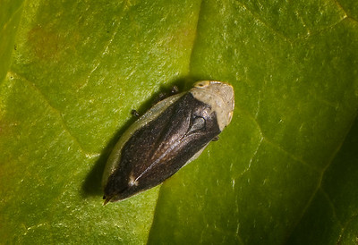 Either a Leafhopper or a Spittle Bug