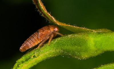 Leafhopper on an alder