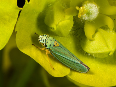 This Leafhopper is very small, but the aphid is even smaller.