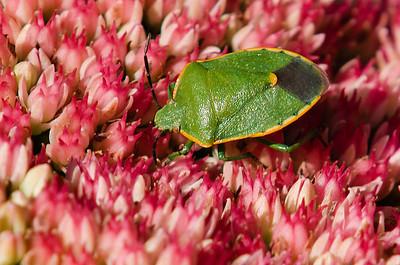 Uhler's Stink Bug.