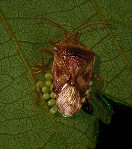 Stink Bug laying eggs under an Alder leaf