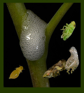 Spittlebugs: Composite showing different stages of development.  Emerging adult in the lower right has just molted.