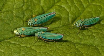 Courting leafhoppers