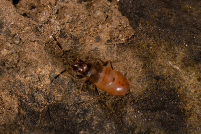 Stink Bug nymph, found under a rock.
