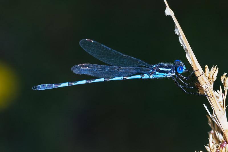 Blue Ringtail