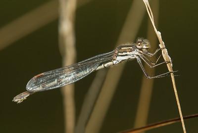 Slender Ringtail