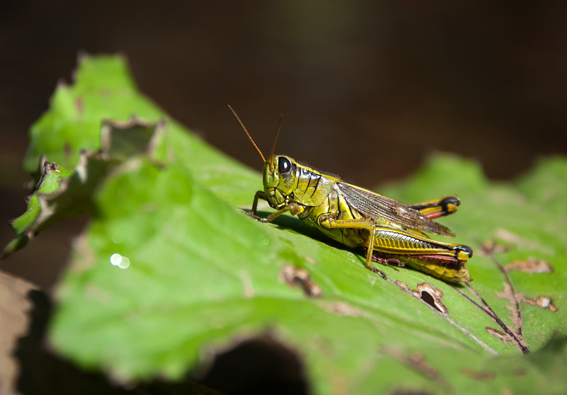 Grasshopper on Leaf - Nova Scotia