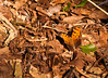 A similar image to the previous one with a slightly darker treatment to show the natural concealment of the burnt orange butterfly to the browns from the dead leaves on the forest floor.  It also has a nice contrast with the dead leaves, the recently fallen leaves (green) and the beauty in the living butterfly.