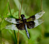 Likely a Widow Skimmer
