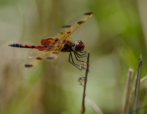 Red Dragonfly from International Crane Foundation - July 2013