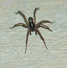 Another wolf spider gracing us with its presence on our porch one night.