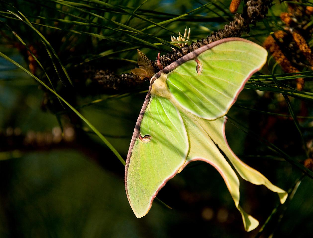 Luna moth on a pine branch