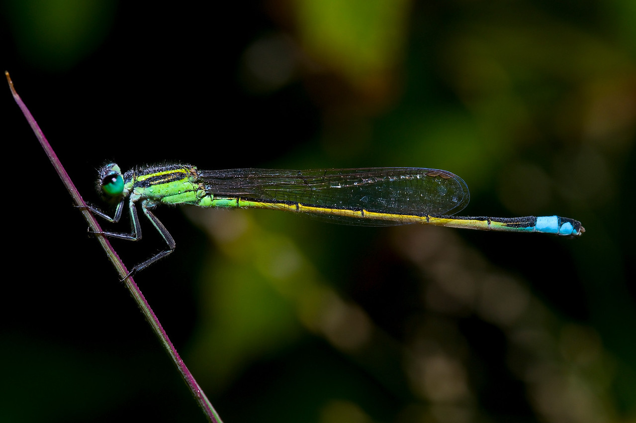 A damsel fly settles in for the evening