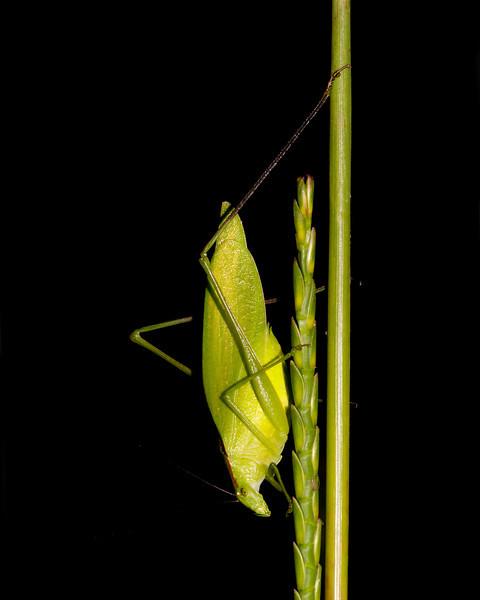 katydid on a weed