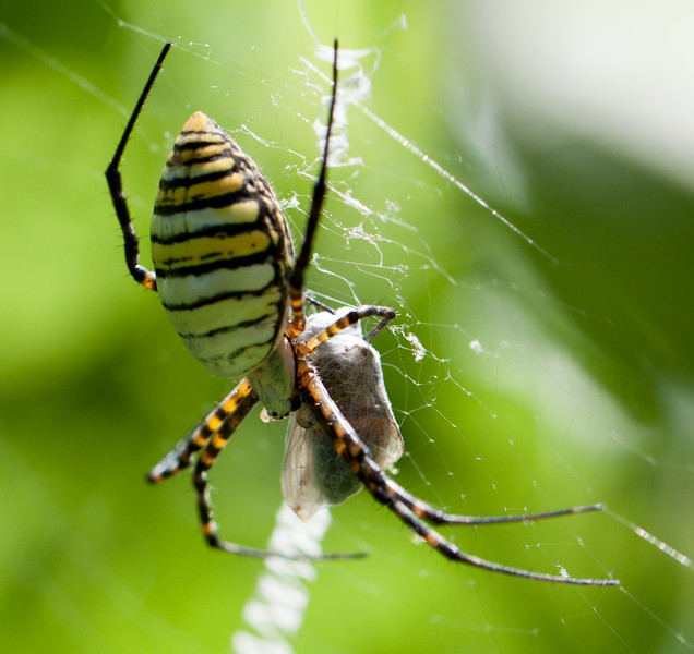 banded garden spider with prey