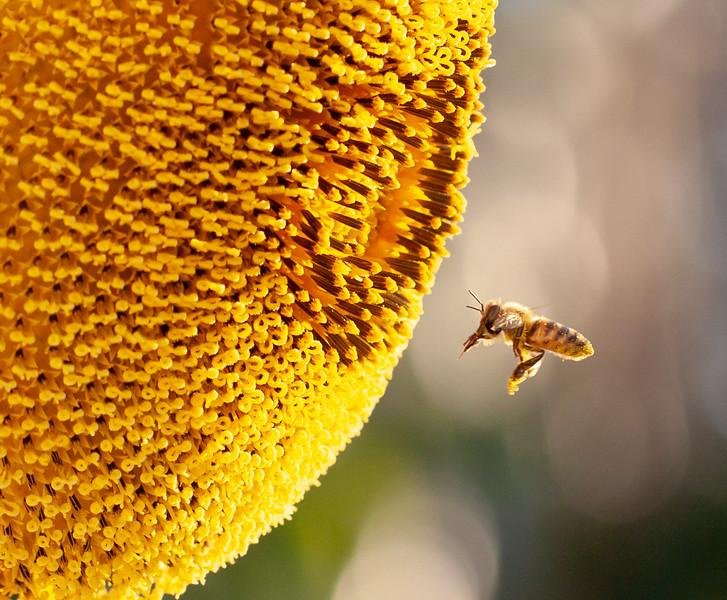 sunflower + bee