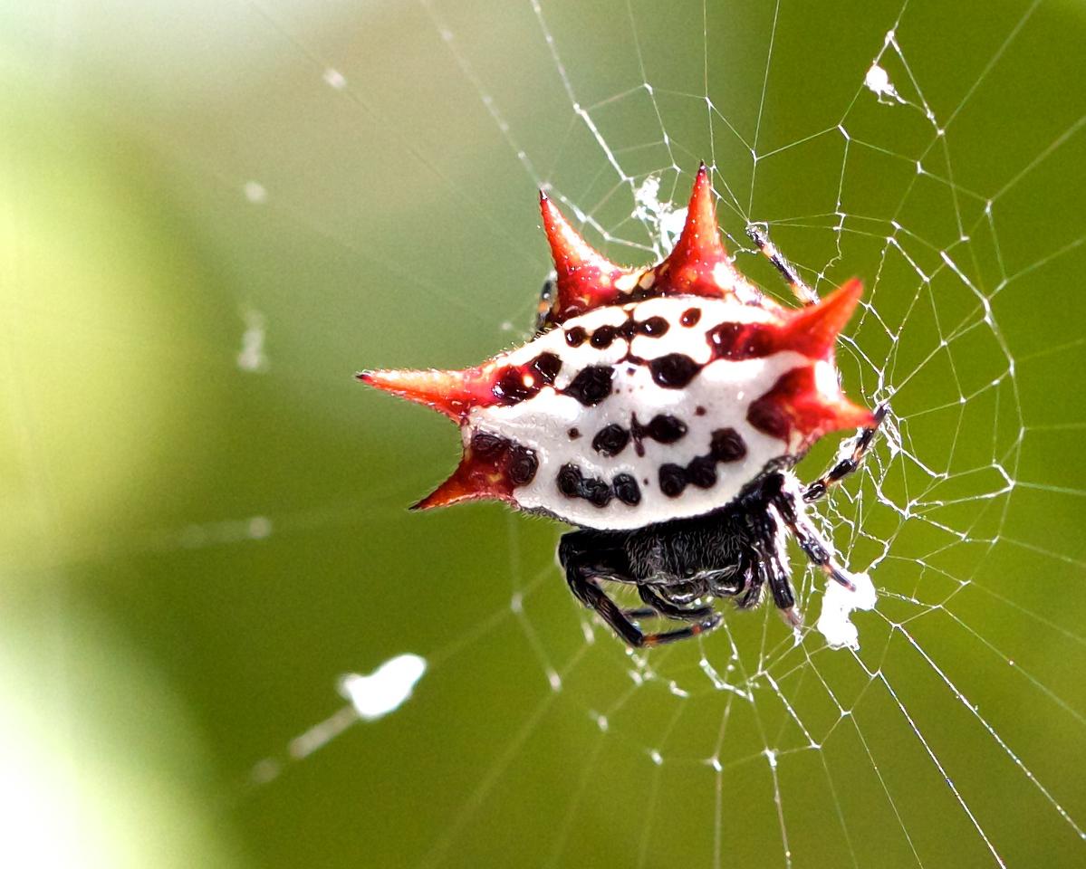 spiny orb weaver