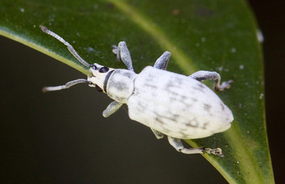 Sri Lanka weevil on a mango leaf