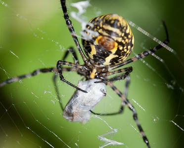 banded garden spider with prey