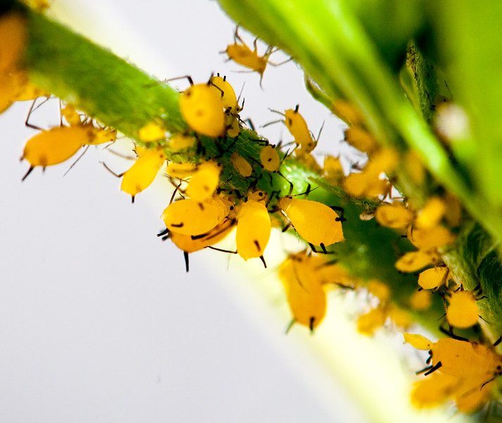 milkweed aphids