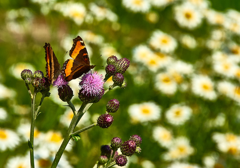 butterflies, sea thistle, and daisies