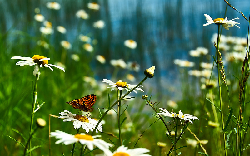 butterfly and daisies on the shore