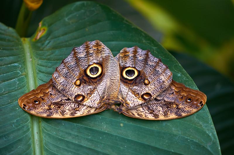 owl butterfly wings